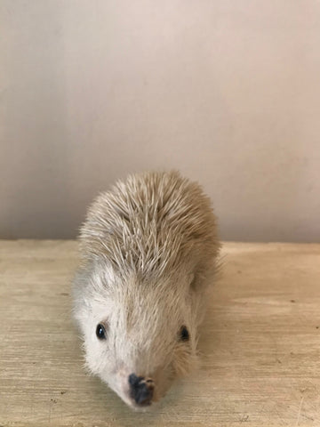 Taxidermy Baby Albino Hedgehog