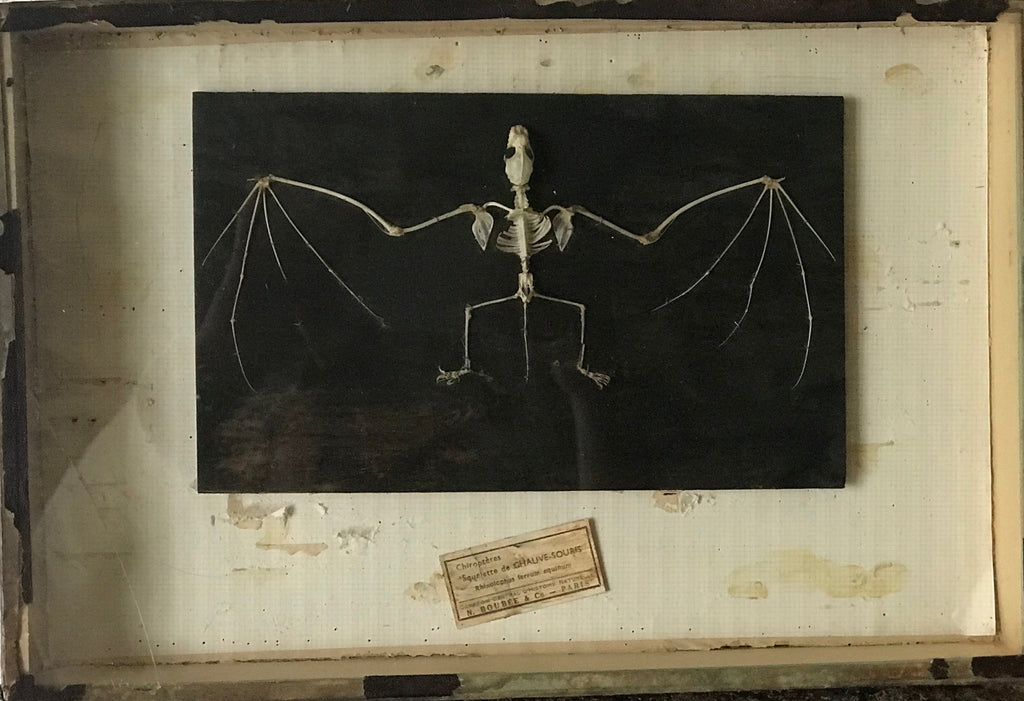 Framed Bat Skeleton