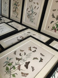 12 Framed coloured plates of butterflies