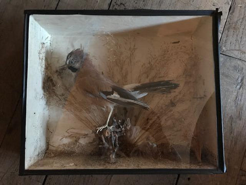 Taxidermy Blue Jay in a case