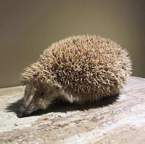 Taxidermy Hedgehog