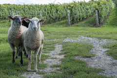 The Featherstone sheep, photographed by Karen Black
