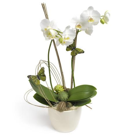 Send a white orchid plant in Trinidad tobago, they are premium quality guaranteed.