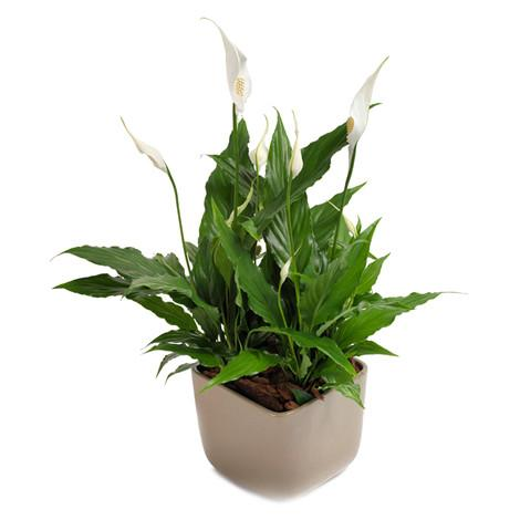 Spatiphilium plant arranged in a good quality pot delivery by our gifting experts in Trinidad Tobago.