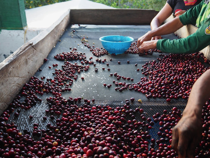 Coffee, Cherry, Harvest, Sorting, Specialty coffee, Ripe