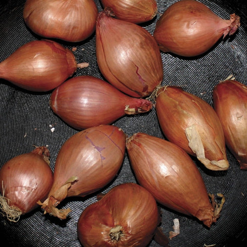 Segall, Ty - Fried Shallots 12""