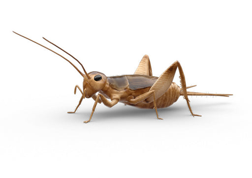 Adult Crickets Grillos