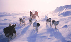 The Iditarod: An Alaskan Dog Sled Race