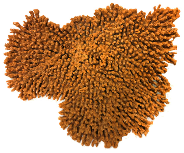 Acropora Cytherea - Large Table Coral #01502