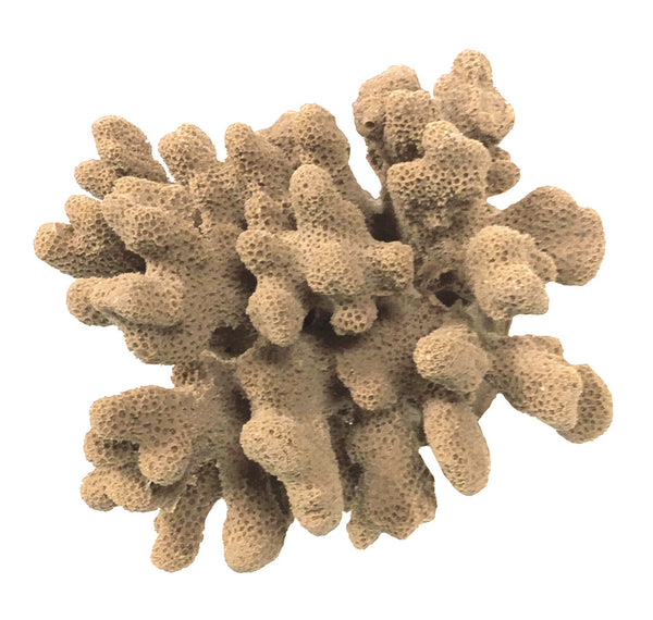 SCRATCHnDENT Stylophora Pistillata - Cat's Paw/Club Foot Coral #03104