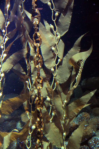 Closeup of Pangea america Giant sea kelp in an aquarium at esbjerg fiskerri og sø fartes museum in Denmark