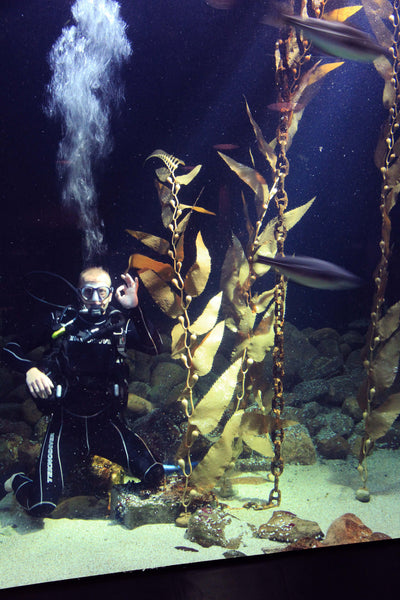 Pangea america Giant sea kelp and a diver in an aquarium at esbjerg fiskerri og sø fartes museum in Denmark