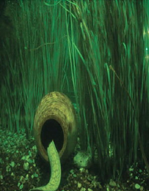 Pangea America synthetic neptune grass in aquarium with moray eel