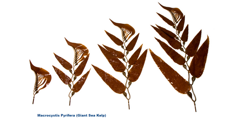 Giant Sea Kelp