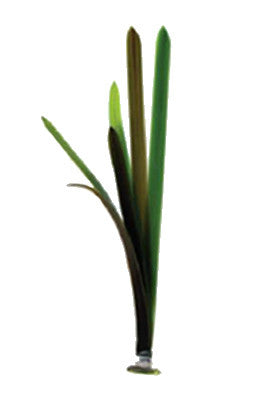 Product image-Pangea America synthetic Vallisneria gigantea