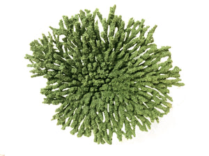 Acropora Cytherea - Table Coral #01501