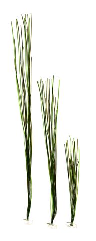 Surfgrass