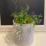 Planted Enamel Pots - Muscari - Grape Hyacinths
