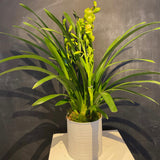 Triple Stem Cymbidium Orchid
