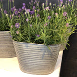 Trypitc of Lavender Buckets