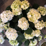 Extra Large Hydrangea in a beautiful pot