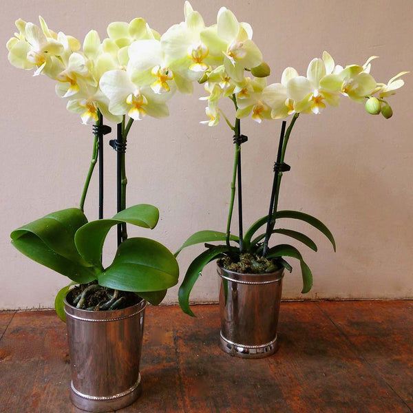 Two Miniature Orchids Amanda Austin Flowers