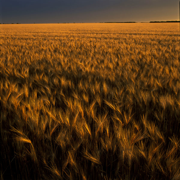 Favorite Forty: Wheat Field in Gold- Wyman Meinzer