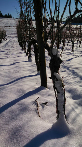 grape vines in snow