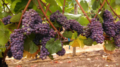 Pinot Gris Wine Grape