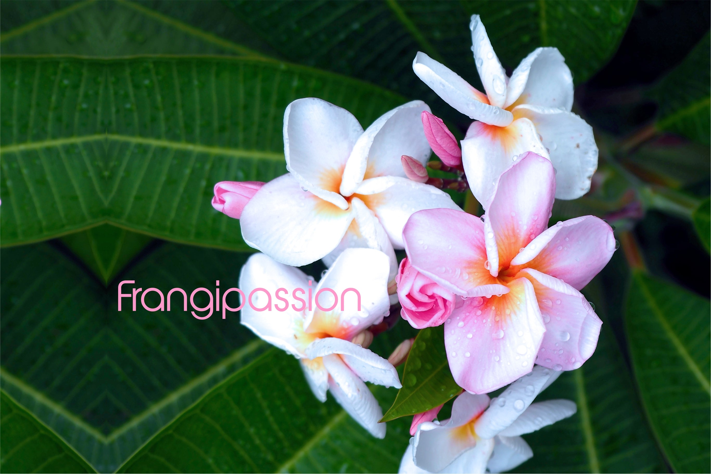 Frangipassion - all styles in BIKINIS and ONEPIECES