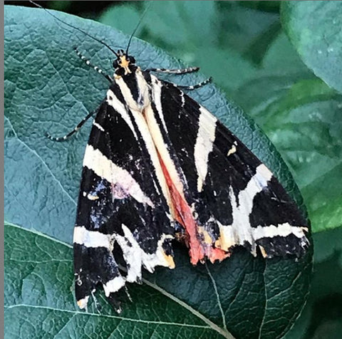 Tiger Moth South London July 2020