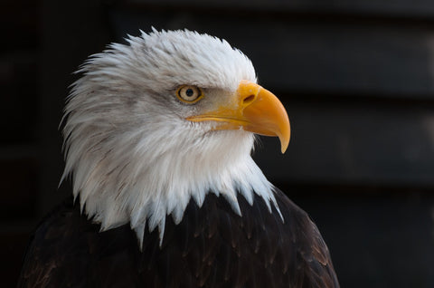 The Bald Eagle: Our National Symbol at risk due to lead poisoning
