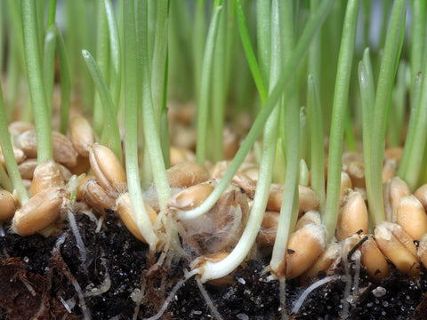 oat seed growing into grass