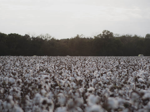 cotton growing in a field with trees in the background