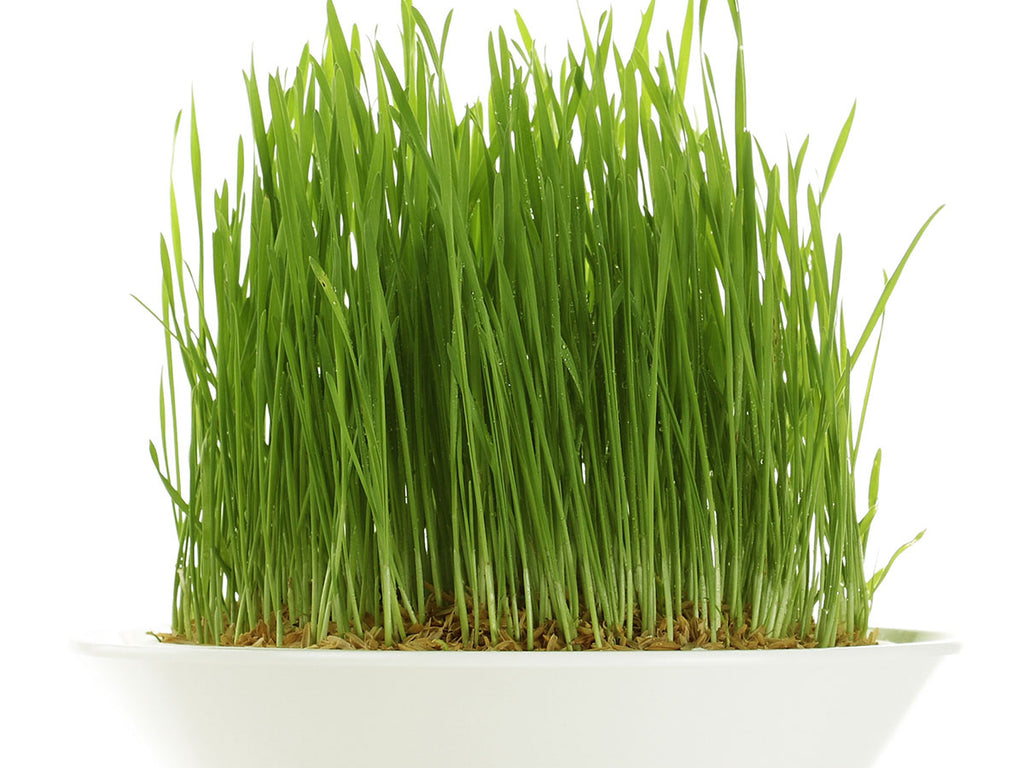 wheatgrass growing in a bowl