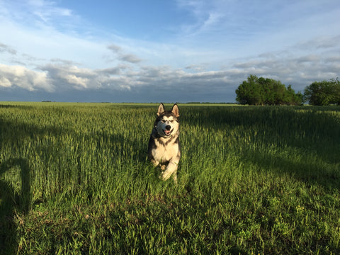Alaskan malamute In a wheat field