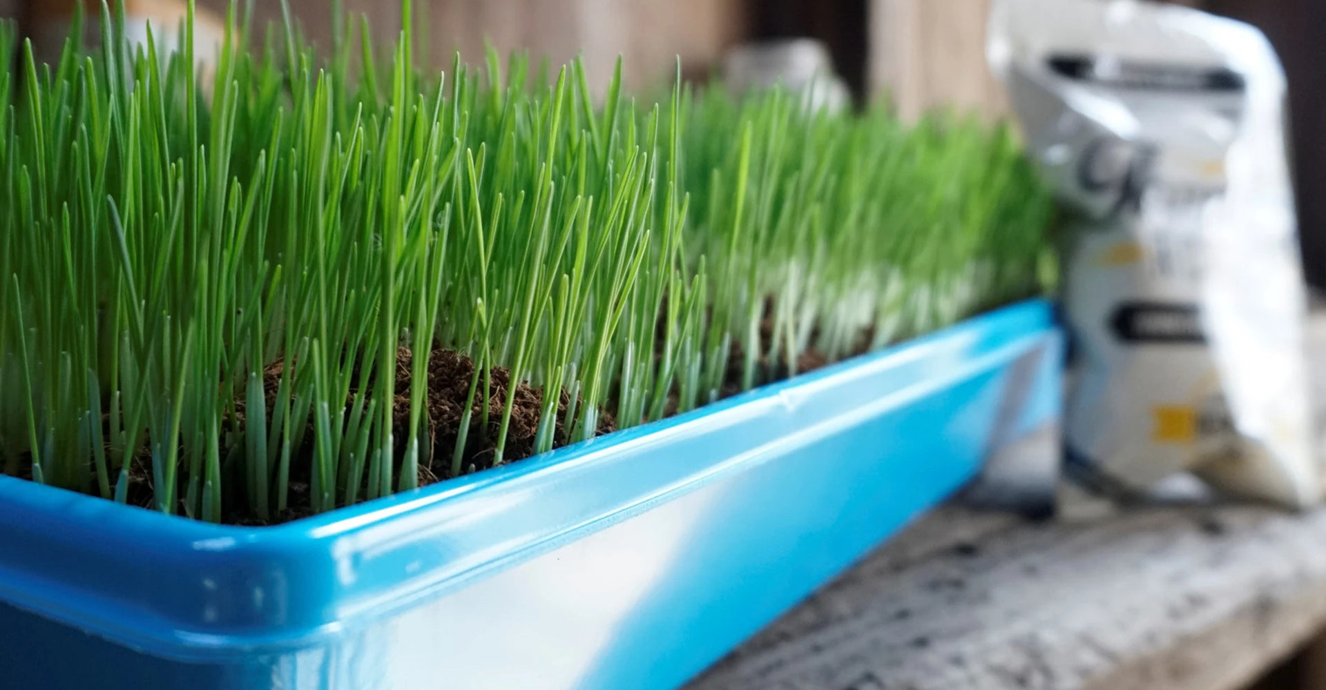 Thunder Acre wheat grass in a growing tray