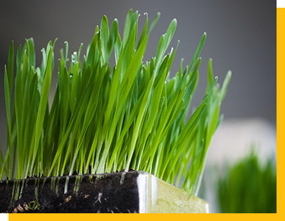 wheatgrass growing in a glass container