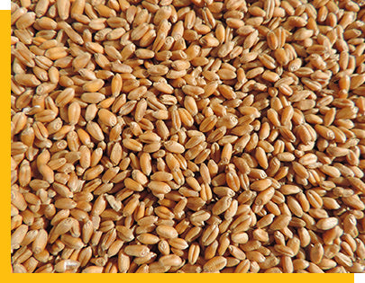close up of Thunder Acres wheatgrass seeds
