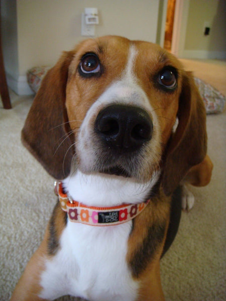 "1"" Matilda Dog Collar"