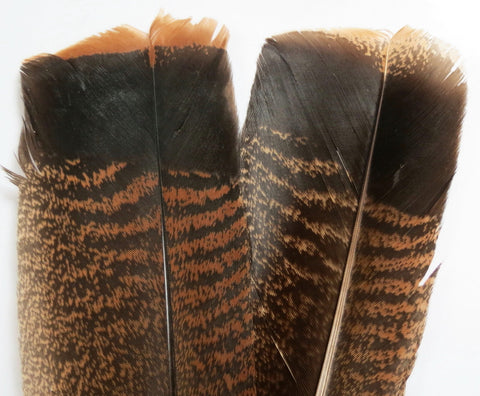 Wild turkey tail feathers