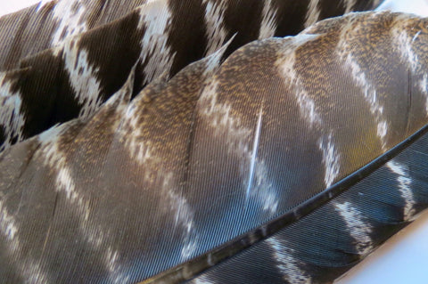 Wild turkey wing quills