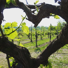 Vines of Love
