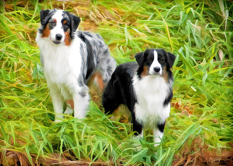 "Australian Shepherd ""Together"" (Design 054)"