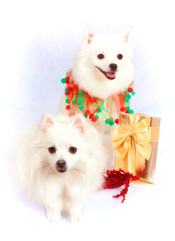 "American Eskimo Christmas - ""Bearing Gifts"" (Design X022)"