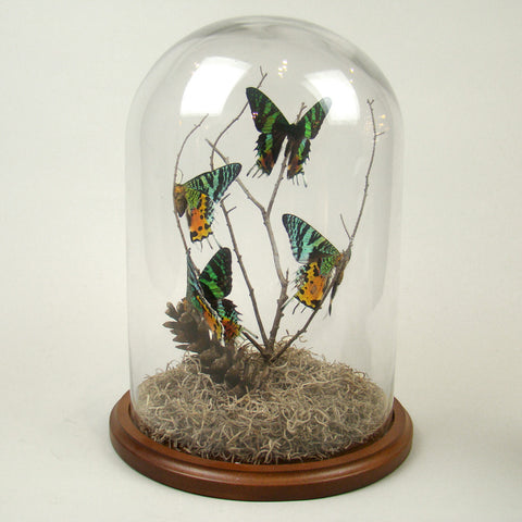 Four Madagascan Sunset Moth Dome