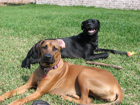 Jake and Riley in our backyard one year after we rescued her.  She has grown to be a big and beautiful dog.