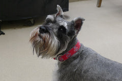 Dog in Ohio State Buckeyes Collar