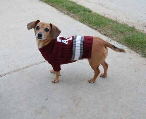 Texas A&M Aggies Dog Sweater on Puppy