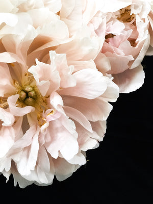 New Peony Release Today!